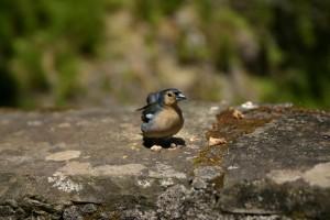 Pajarito en una de las levadas de Madeira