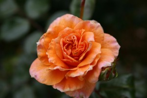 Rosa asalmonada