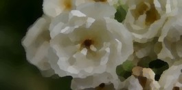 Rosa blanca cuarteada